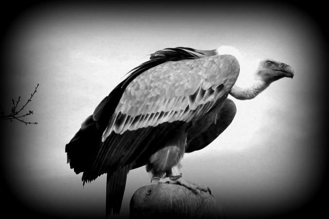 vulture-BW